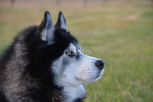 samoyed wolf mix images amp pictures   becuo
