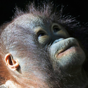 Full Moon by Paul S. DeGarmo - Animals Other ( young, ape, looking, up, full,  )