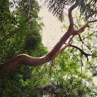 Naked Indian Tree