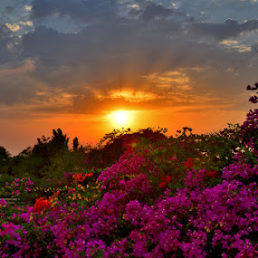 Floral sunset by Natalie Ax - Landscapes Weather ( blue sky, sunrise, flora, clouds, scenery, sun, summer, sun rays, beautiful, bougainvillea, season, sky, floral, flowers, blossom, nature, blooming, sunlight, light, plant, bushes, sunset, rays, evening, landscape )