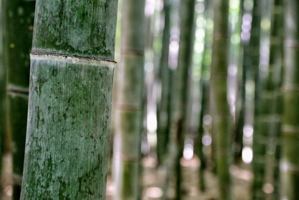 atrakcje Kioto, Bambusowy las, Bamboo Forest, Arashiyama, Kioto, Japonia