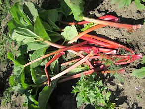 Photo: Rhubarb harvest