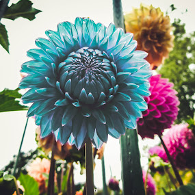 by Jordan  Richardson - Flowers Single Flower ( magnificent, blooom, blue, flowers, garden, blossom, flower, petal )