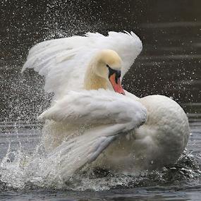 Flamenco Swan by Steve BB - Animals Birds