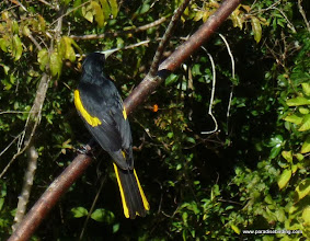 Photo: Yellow-winged Cacique, Vallarta Botanical Gardens