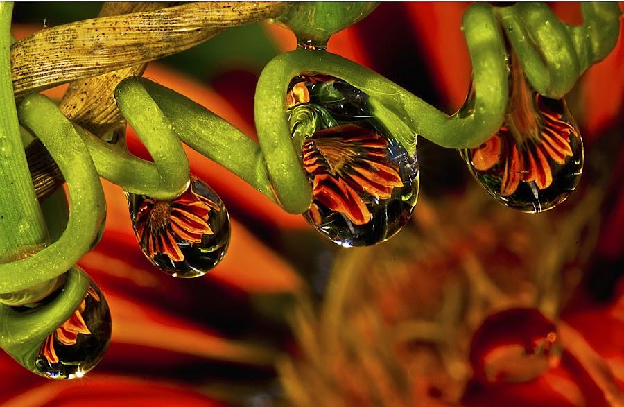 gazania drops by David Winchester - Nature Up Close Natural Waterdrops