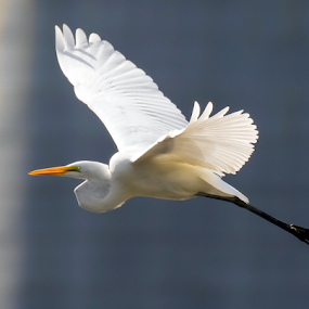 Egret by Robert George - Animals Birds (  )