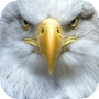 Eagle Wallpapers APK icon