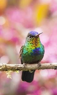 Tapeta Kolibřík - náhled