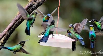 Photo: Fiery-throated Hummingbirds @Paraíso Quetzal Lodge, Cerro de la Muerte