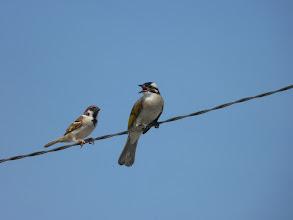 Photo: 白頭翁與麻雀唱和  99.07.11.攝影