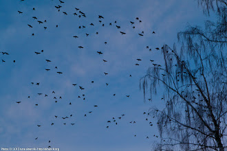 Photo: Crows.