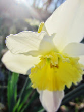 Photo: Morning sunlight streaming down on a daffodil at Wegerzyn Gardens MetroPark in Dayton, Ohio.
