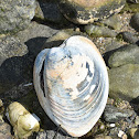 Atlantic Surf Clam
