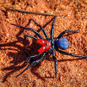 Red-headed Mouse Spider (male)