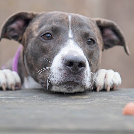 Gotta get that Hotdog by Ginger Wlasuk - Animals - Dogs Portraits ( shelter, shelter dog, rescue, pit bull, treat )