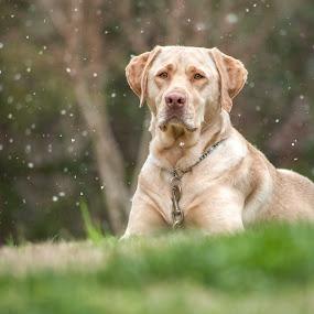 Spring Snow by Lorella Johnson - Animals - Dogs Portraits ( snow, dog, spring )