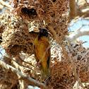 Weaver nests and Village weaver