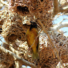 Weaver nests and Village weaver