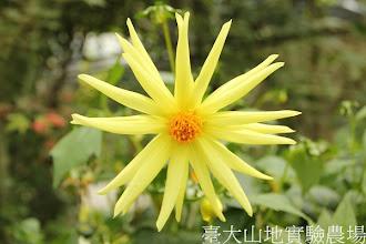 Photo: 拍攝地點: 梅峰-溫帶花卉區 拍攝植物: 大理花 拍攝日期:2012_07_18_FY