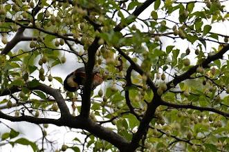 Photo: 撮影者:村山和夫 ヤマガラ タイトル:ヤマガラとエゴノキ 観察年月日:2014年9月15日 羽数:5羽 場所:富士森公園 区分:行動 メッシュ:八王子6H コメント:ヤマガラが興奮状態(に見えた)で盛んに飛び回っていた。エゴノキと15Mほど離れたツツジの根元を往復している。どうやら冬に備えてエゴノキの実を貯食しているようだ。果皮に有毒なサポニンを含むエゴノキの実を食べる野鳥は少ない。