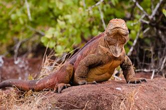 Photo: Land iguana; North Seymour