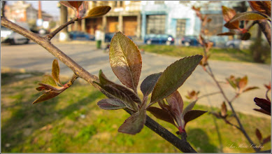 Photo: Corcodusi (Prunus cerasifera)  - din Turda, Parcul Central - 2019.04.02