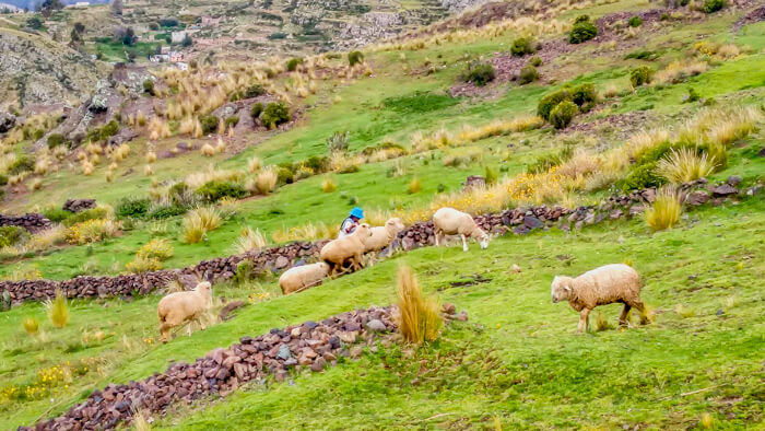 a peruvian lady working in her farm in the countryside of Puno and lake titicaca in peru