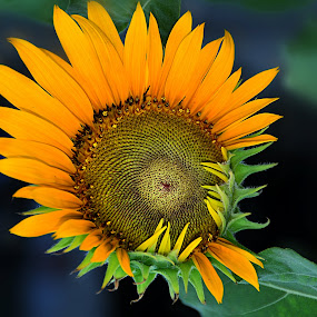 Cute little baby girl by Keple MN - Nature Up Close Flowers - 2011-2013 ( nature, sunflowers, outdoor, plants, flowers, garden )