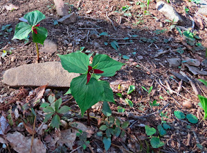 Photo: My first Trillium of the year