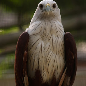 eagle by Elha Susanto - Animals Birds