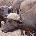 African buffalo or Cape buffalo