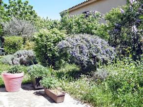 Photo: Une petite partie de mon jardin sauvage au tout début du printemps - fin février 2014. Il n'y a que le céanothus et les lilas (en haie) en fleurs. Restent le figuier, l'olivier, le choisya, les lavandes, les sédums, le cognassier, les centranthes, et la prairie sauvage