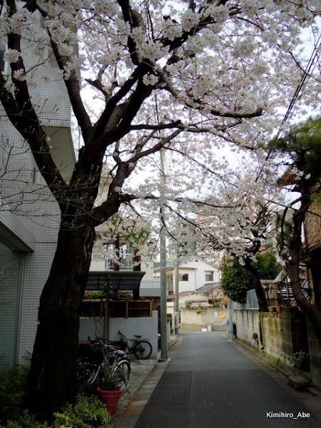 Photo: 近所の桜。満開です~(^^ こっちからの風景はとても風情がある気がしています。