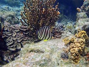 Photo: Chaetodon octofasciatus (Eight-banded Butterflyfish), Lusong Island, Coral Garden Reef, Palawan, Philippines.