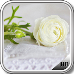 White Roses Wallpaper