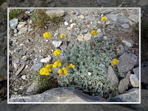 Photo: Genépi des glaciers, Artemisia glacialis
