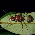Queen Weaver Ant