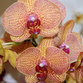 Orchid by Luciana Popa - Flowers Single Flower ( #pic, #beauty, #floral, #orchids, #photo, #flowerpic, #photography, #orchid, #flower,  )
