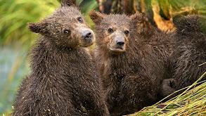 Brown Bears of Summer thumbnail