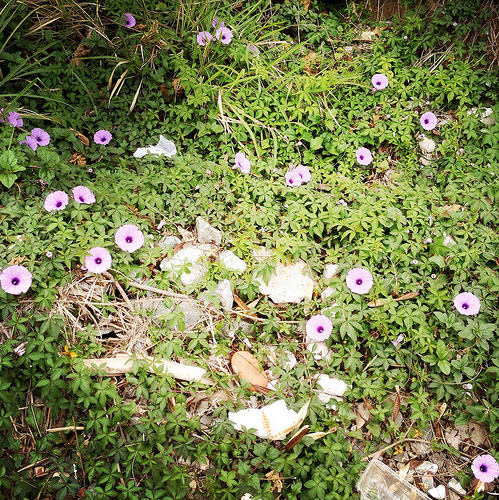 Flowers, hong kong, Roadside, wild, Wildflowers, 香港, 路邊, 野花