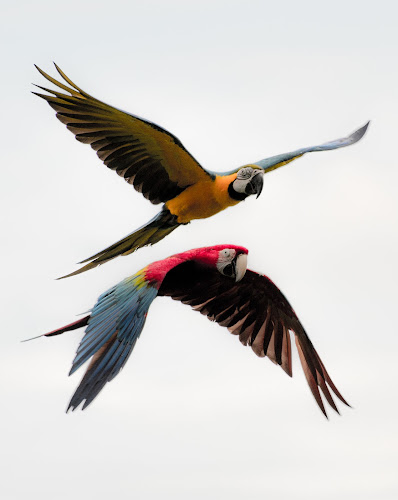Macaws in Flight by Doug Faraday-Reeves - Animals Birds ( flight, parrots, parrot, macaw )