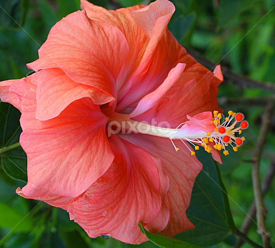 by Carmen Quesada - Flowers Single Flower ( hibiscus, petals, bright, beauty, light, natural, flower )