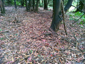 Photo: The native floor is covered in eucalyptus duff
