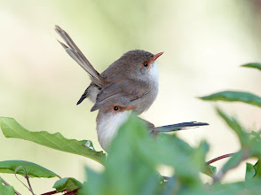 Photo: Superb Fairy-wrens