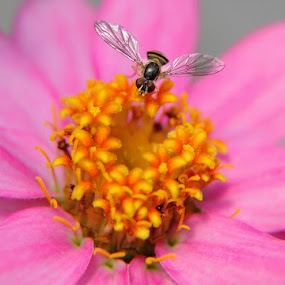 Hover Fly Flower by Forest Wander - Nature Up Close Flowers - 2011-2013 ( pink flower, hover fly, nature, nectar, beautiful, gathering, insect )