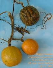 Photo: Duppy Pumpkin, Wild Pumpkin - Cionosicyos pomiformis, CUCURBITACEAE. Ironwood Forest, Grand Cayman, July 14, 2003 Range: Grand Cayman and Jamaica only Photo: P. Ann van B. Stafford. Flora of the Cayman Islands by George R. Proctor, 2012, p.330 Pl.22. Flowering Plants of Jamaica by C. D. Adams 1972, p.503.