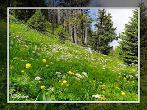 Photo: Cerfeuil hérissé (Chaerophyllum hirsutum) & Trolle (Trollius europaeus) au versant Nord