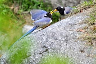 Photo: Himalayan Magpie lovie dovie