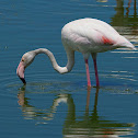 Flamenco común (Greater flamingo)